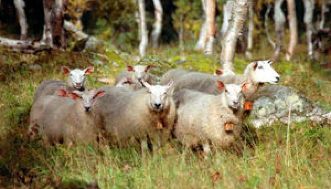 """""""Det antas at omtrent 300 000 lam i Norge blir påvirket av flått og sjodogg hvert år. Foto: Kari Grøva."""""""