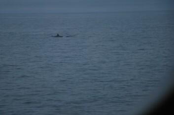 Grindhvalen viser seg såvidt frem, før den dukker ned i dypet igjen. (Foto: Hanne Østli Jakobsen)
