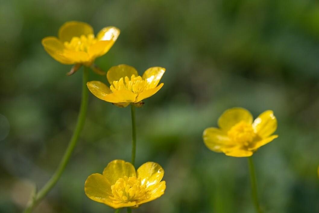 Krypsoleien har gule smørblomster. (Foto: E. Fløistad, Bioforsk)