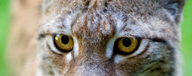 Jeger og rovdyr konkurrerer om bytte