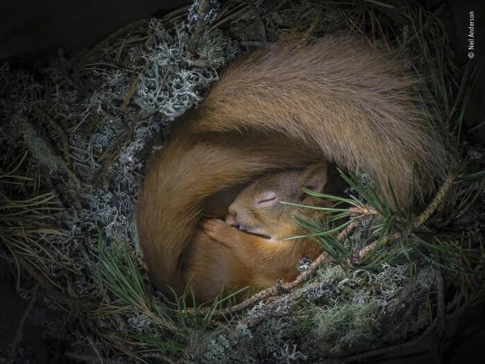 Rededrømmer. Fotografen hadde en følelse av det hadde flyttet noen inn i en kasse festet på et furutre i hagen hans. Og ganske riktig fant han to ekorn som lå og koste seg i et hyggelig innredet rede. Blant publikums favoritter.