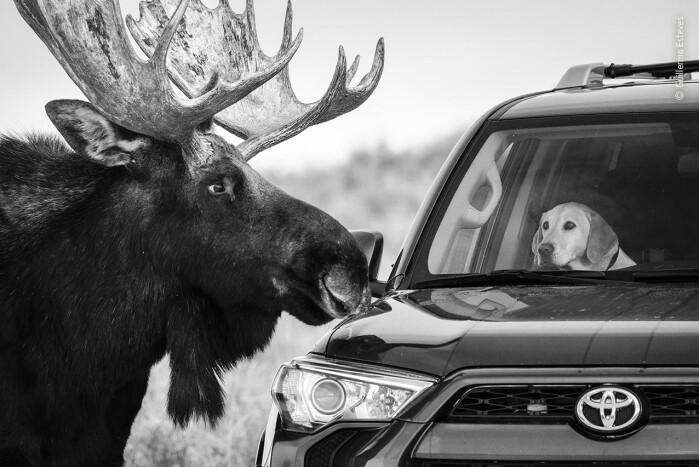Nærkontakt. En nysgjerrig elg i Grand Teton National Park i Wyoming ser nærmere på en hund i en forbipasserende bil. Elger er store og uforutsigbare dyr, og hunden ser ikke helt bekvem ut. Blant publikums favoritter.