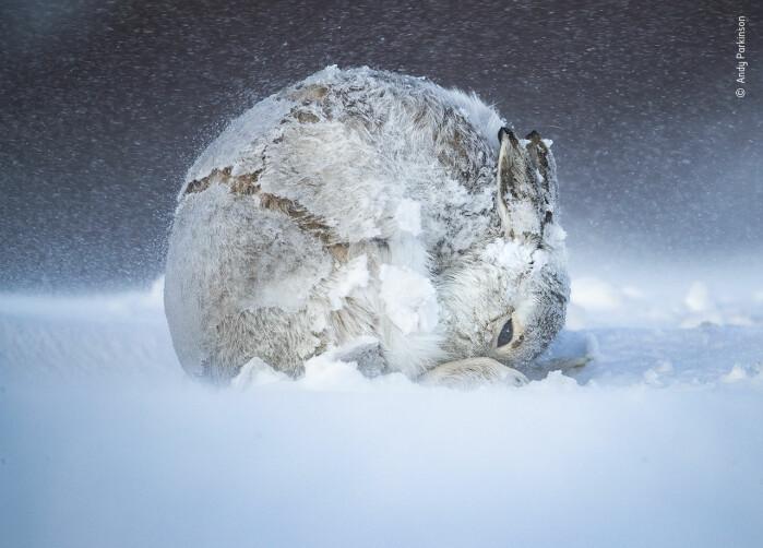 Harekule. En hunn-snøhare kjemper mot kulden i det skotske høylandet. Blant publikums favoritter.