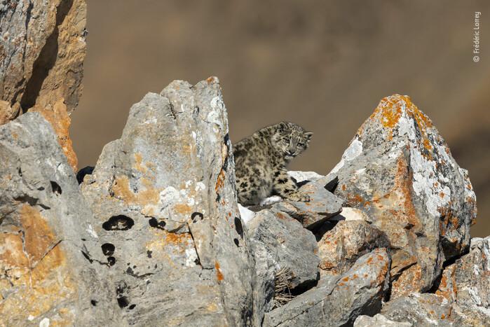 Unge på klippene. En seks måneder gammel snøleopardunge som har kommet vekk fra moren sin, søker ly blant klippene. Bildet ble tatt i Tibet, der de sjeldne kattene, i motsetning til andre steder, ikke jages av krypskyttere.