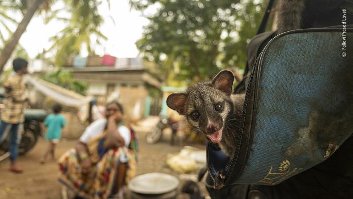 Sameksistens. En leken asiatisk palmeruller-unge får en haik i en veske. Den foreldreløse ungen på bildet lever fritt i en liten indisk landsby. Andre steder i verden holdes dyrene fanget i små bur, ettersom avføringen deres brukes til å produsere en spesiell form for kaffe.