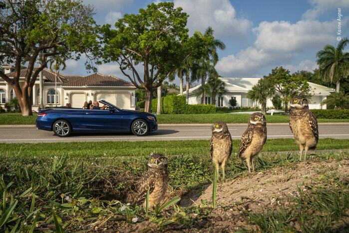 Ekte hagegnomer. På Marco Island i Florida finner man ikke bare luksushoteller og vakre strender, men også graveugler.