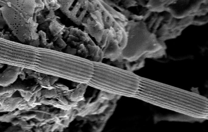 Bildet viser et utsnitt av en kabelbakterie sett med elektronmikroskop. Utsnittet viser fire celler, og man ser tydelig de langsgående ribbene der kabelbakterienes «ledninger» ligger.