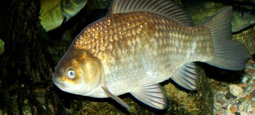 Ferskvannsfisk overlever uten oksygen. Kan kunnskapen sørge for flere organer til donasjon?