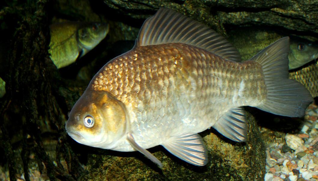 Denne fisken kan i perioder overleve uten oksygen. Kan karussen gjøre flere hjerter tilgjengelige for donasjon?