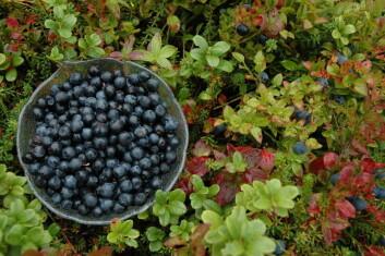 Den nye skadegjeraren Phytophthora ramorum er funne på blant anna blåbær