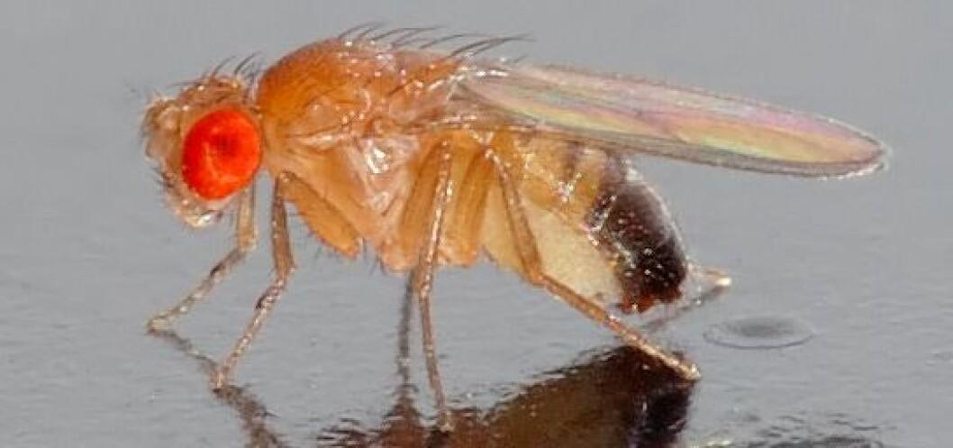Bananflua (Drosophila melanogaster) er 2 mm lang og er lysegul. Den kommer fort til råtten og overmoden frukt og vinskvetter. (Foto: Wikimedia Commons / André Karwath)