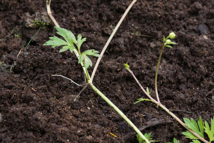 Stengelen til krypsoleien har utløpere som vokser langs bakken. (Foto: E. Fløistad, Bioforsk)