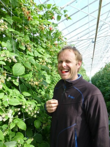 Jone Wiig har årets første bringebær i veksthuset på Sola på Jæren. (Foto: Åge Jørgensen, Bioforsk)