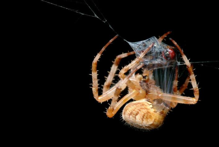 Edderkopper finnes i titusenvis av arter – på landjorda, i skogene og enkelte til og med under vann. Edderkoppenes evolusjon er antagelig blitt formet av endringer i klimaet som har åpnet opp for nye tomme nisjer hvor noen edderkopper har kunnet utvikle seg uten konkurranse fra andre. (Foto: Colourbox)