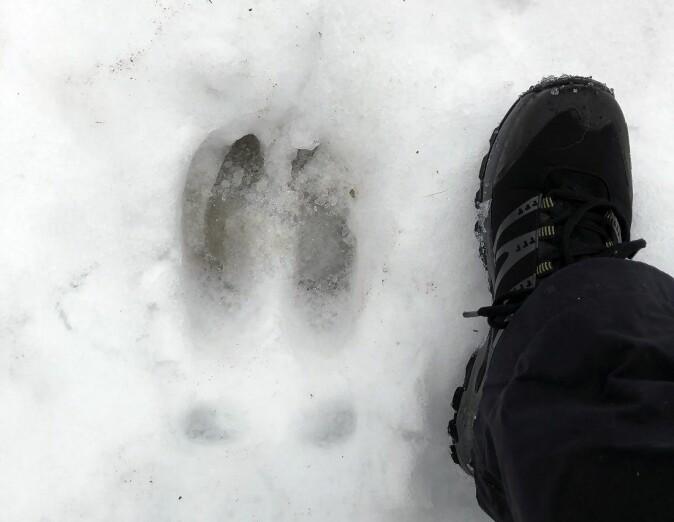 Elgen er et stort dyr. Det ser du gjerne på sporet også.