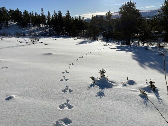 Harespor er ofte lette å kjenne igjen.