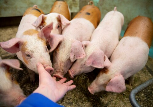 Local feed resources benefit piglets at weaning