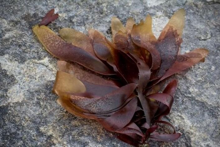 Palmaria, eller søl, er en aktuell matalge. (Foto: Pierrick Stevant)
