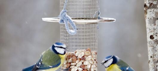 Hvordan takler fuglene kulda?