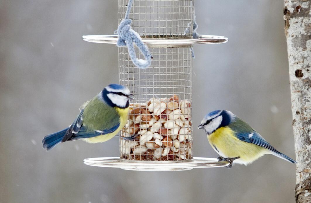 Syntes du synd på småfuglene da kvikksølvet sank til minus tosifret i vinter? Vi har spurt én ornitolog og én zoolog om hvordan de fjærkledde, for eksempel disse blåmeisene, takler kulda.