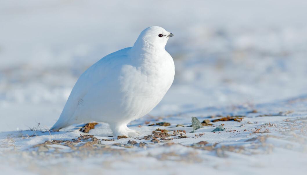 Rypa er ikke en spesielt god flyger, så den holder seg i kalde nord når vinteren kommer. Men den er godt tilpasset den norske vinteren og lager seg gjerne en liten hule å søke ly i, forteller zoolog Petter Bøckman.