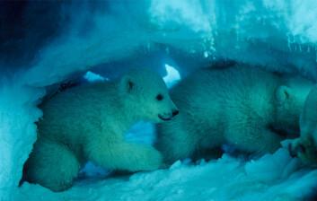 Isbjørnunger inne i hiet. (Foto: Thor S. Larsen / Norsk Polarinstitutt)
