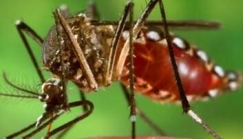 Aedes aegypti er ansvarlig for spredninga av både denguefeber og gulfeber. Wikimedia Commons