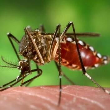 Aedes aegypti er ansvarlig for spredninga av både denguefeber og gulfeber. (Foto: Wikimedia Commons)