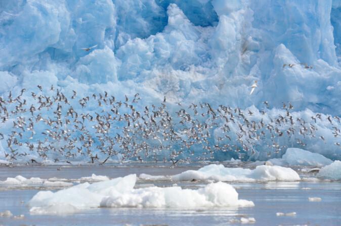 Framfor isbrear finn mellom anna sjøfuglar, sel og kval næringsrik mat i havet.