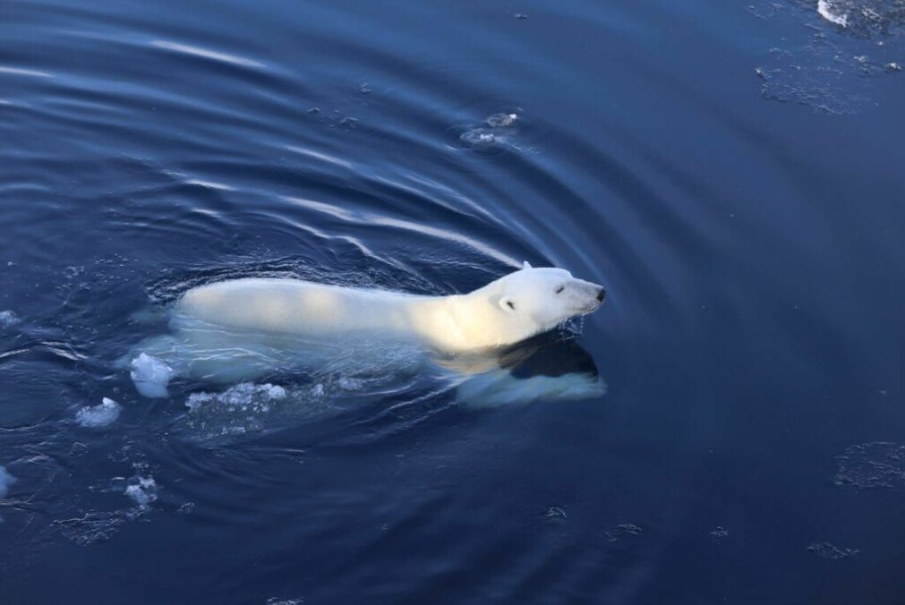 The polar bear is a marine mammal that lives much of its life within the marginal ice zone.
