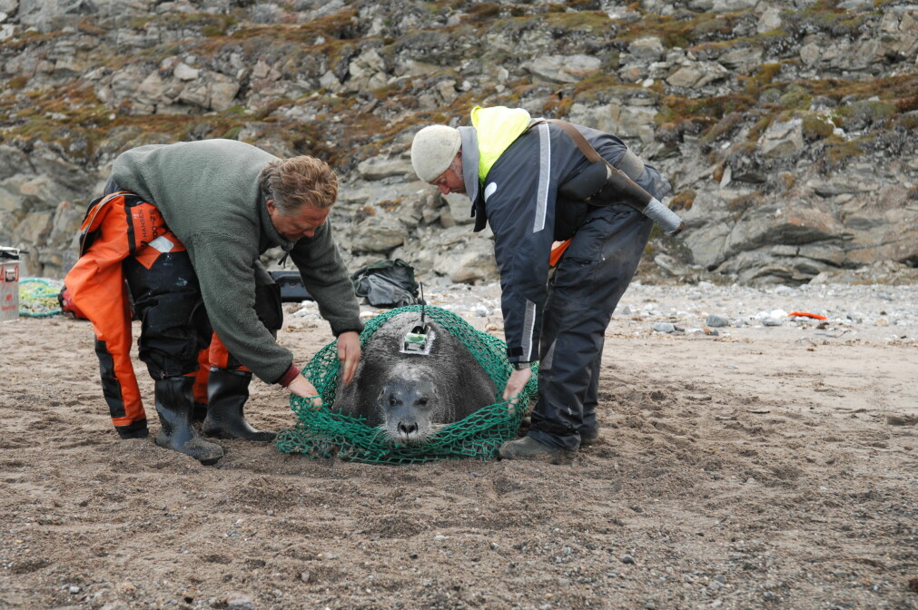 A bearded seal is released. It has been tagged with a satellite transmitter that will provide vast amounts of data about the animals movement patterns and various samples have been taken that provide researchers with information about the animals health..