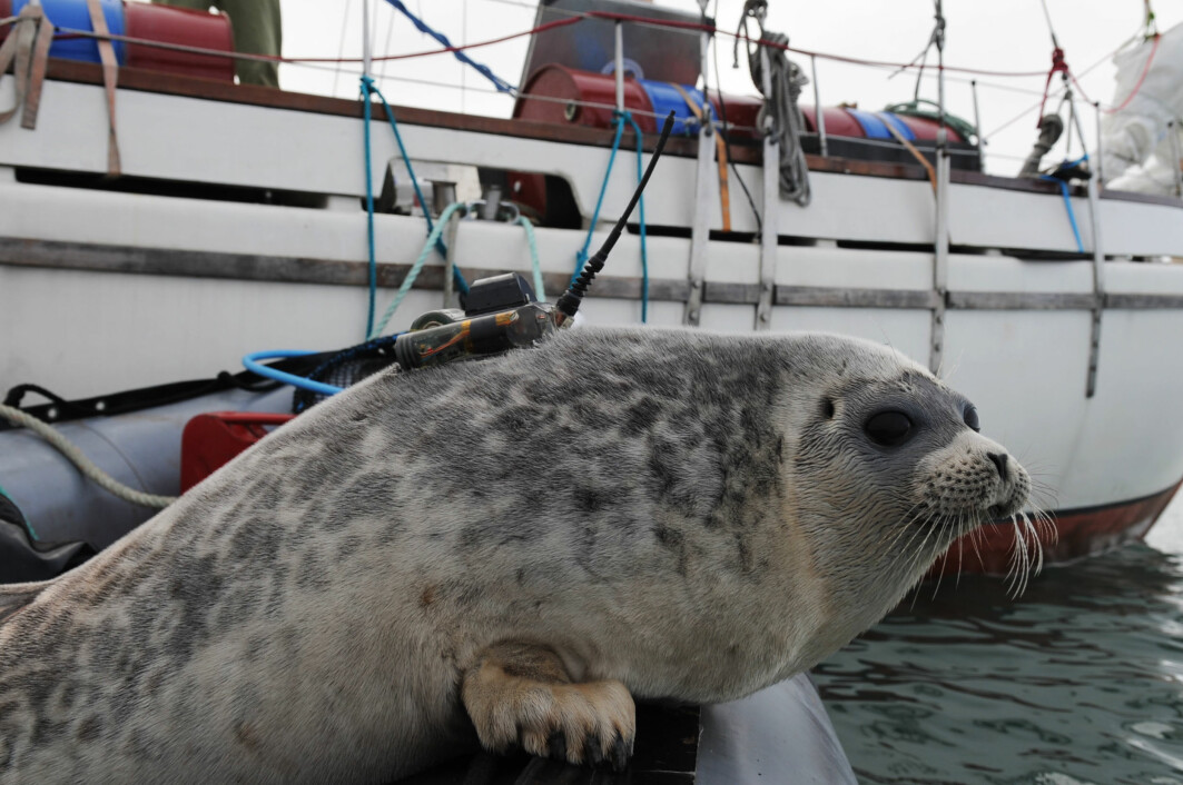 Ringed seal with a transmitter glued to its fur. This instrument records dive data and measures salinity, temperature and the seal's location. The data are sent to the researchers via satellites. The transmitter falls off during the seal's annual moult.