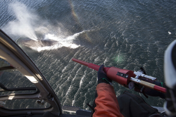 Slik kan forskerne spore hval. Fra et helikopter skytes ei pil som fester seg i spekket på en grønlandshval. I pila er det festet en radiosender som sender informasjon om hvor hvalen befinner seg. Signalene fanges opp av satellitter.