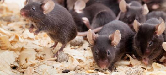 Injeksjon av mjølkesyre gav fleire nerveceller i musehjernen
