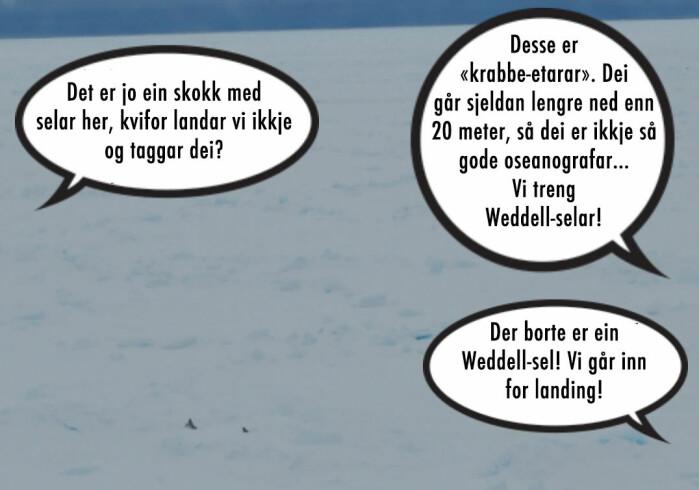 """Ninja: Det er jo ein skokk med selar her, kvifor landar vi ikkje og taggar dei? Elin: Desse er """"krabbe-etarar"""". Dei går sjeldan lengre ned enn 20 meter, så dei er ikkje så gode oseanografar… Vi treng Weddell-selar! Der borte er ein Weddell-sel! Vi går inn for landing!"""