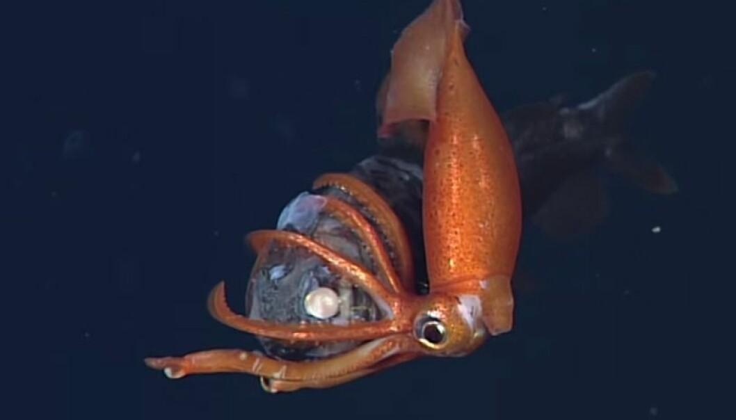 Se dødskampen mellom blekksprut og fisk