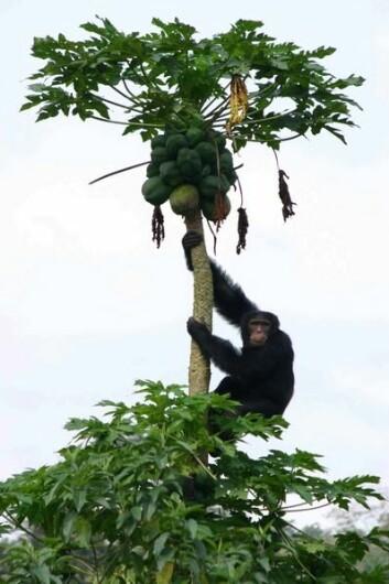 """""""En sjimpanse i sitt naturlige miljø, på leting etter mat. I verste fall kan sjimpansene være utryddet om bare noen tiår, skriver forskerne."""""""