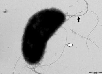 Elektronmikroskopisk bilde av Vibrio salmonicida. (Foto: Hanne C. Winther-Larsen)
