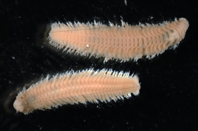 Bristle worms up close.
