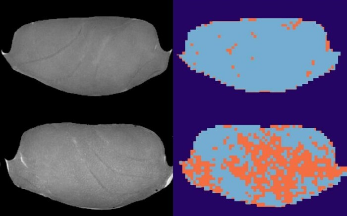MRI images of fish samples frozen at minus 40 °C (top) and minus 20 °C (bottom). Analyzes of the images mark damaged tissue in orange.