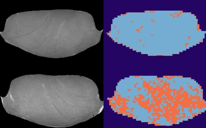 MR-bilder av fiskeprøver som er frosset inn ved minus 40 grader (øverst) og minus 20 grader (nederst). Analyser av bildene markerer skadet vev i oransje.