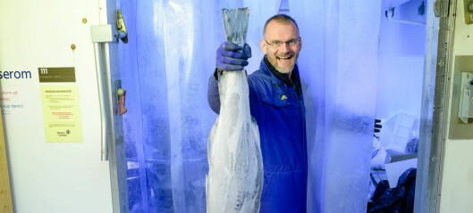 Frossenfisken er ofte ikke kald nok