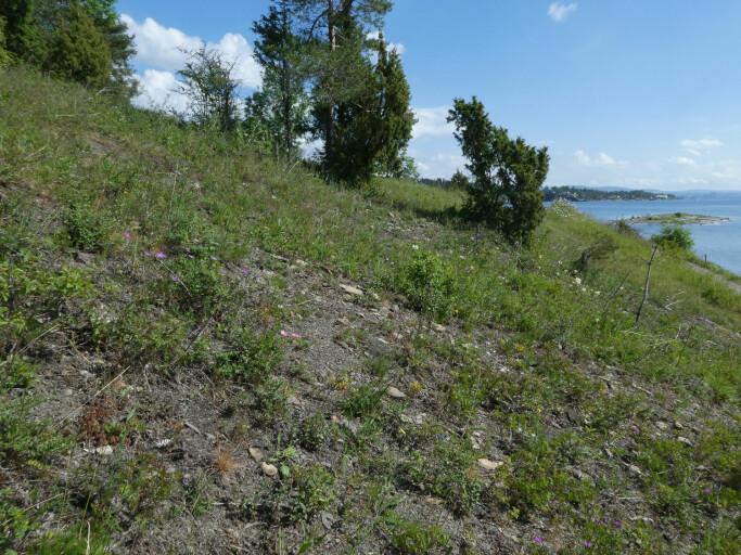 Åpen grunnlendt kalkmark omfatter åpne områder på kalkrik berggrunn, som for eksempel her på Ostøya i indre Oslofjord. Vegetasjonen ser kanskje skrinn og stusselig ut, men dette er levested for mange sjeldne og truede arter, som dragehode (i forgrunnen) og knollmjødurt (i bakgrunnen).