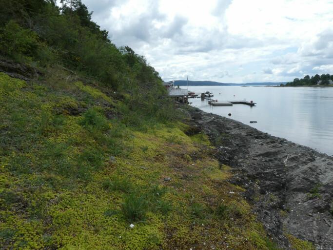 Åpen grunnlendt kalkmark trues blant annet av fremmede arter, som her på Ulvøya hvor et sammenhengende teppe av gravbergknapp (med lysegrønne blader) har tatt fullstendig overhånd.
