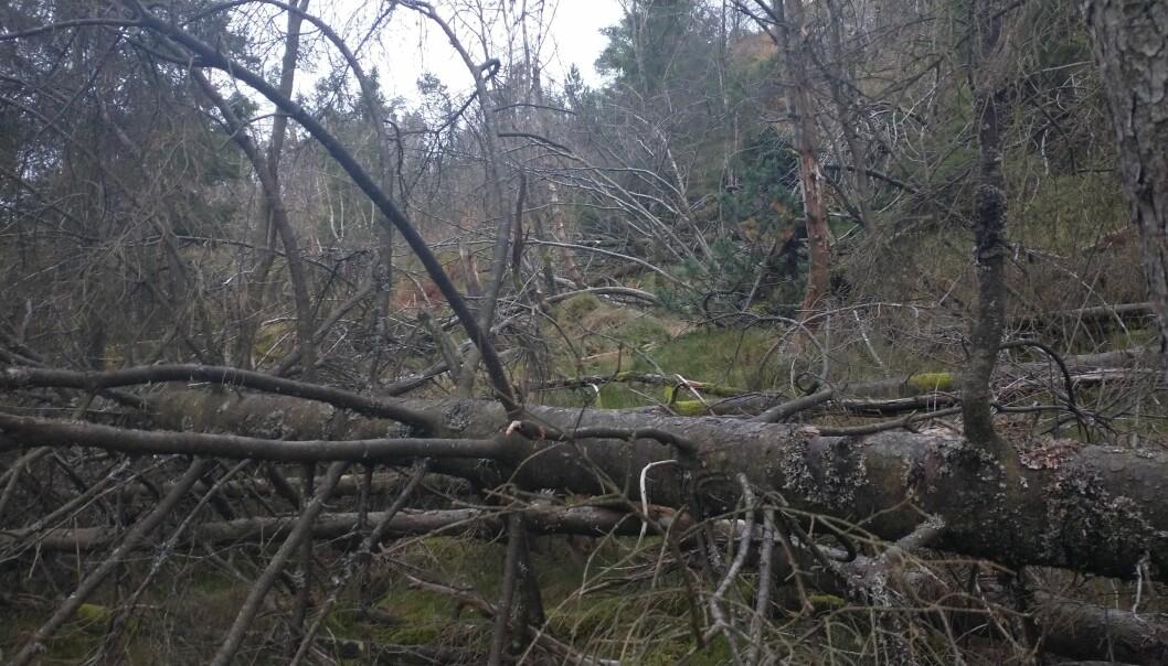 Trær slått ned av vind på Løvstakken i Bergen.