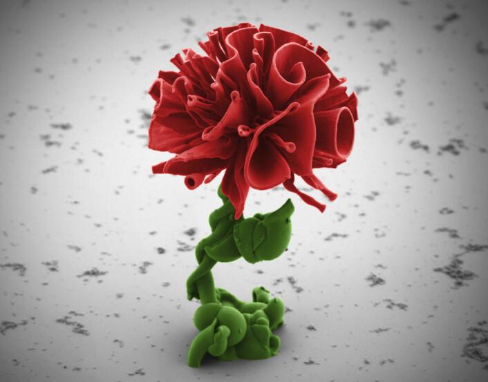 Forskere fra Harvard University har klart å kontrollere hvordan mineraler utfelles i en løsning. Slik kan de lage ørsmå komplekse strukturer, blant annet denne blomsterformen. Den er i størrelsesorden 1/20 millimeter. (Foto: (Elektronmikroskopi: Wim Noorduin))