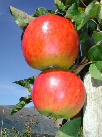 Eplesorten Rubinstep kjem frå Tsjekkia. Den beste brukstida er i perioden november til februar. Rubinstep har bra fruktstorleik, god smak og utsjånad. (Foto: Oddmund Frøynes)