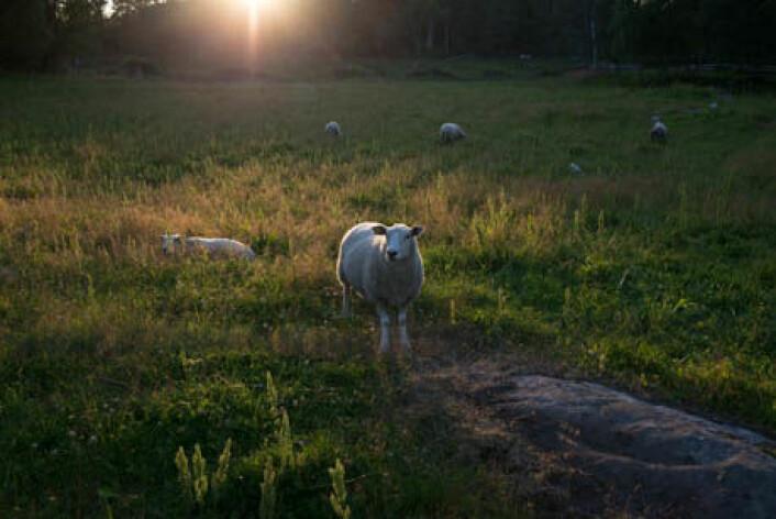 Tidlig beiteslipp av lam anbefales. Lam som blir smittet tidlig har stort sett overlevd. (Foto: Anette Tjomsland)