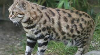 Kloner katter i dypfryst dyrehage