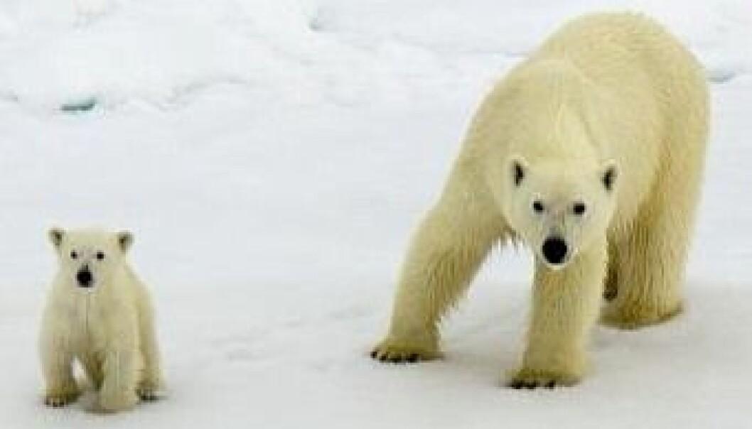 Isbjørnbinne med unger på isen på Svalbard. Ann Kristin Balto / Norsk Polarinstitutt